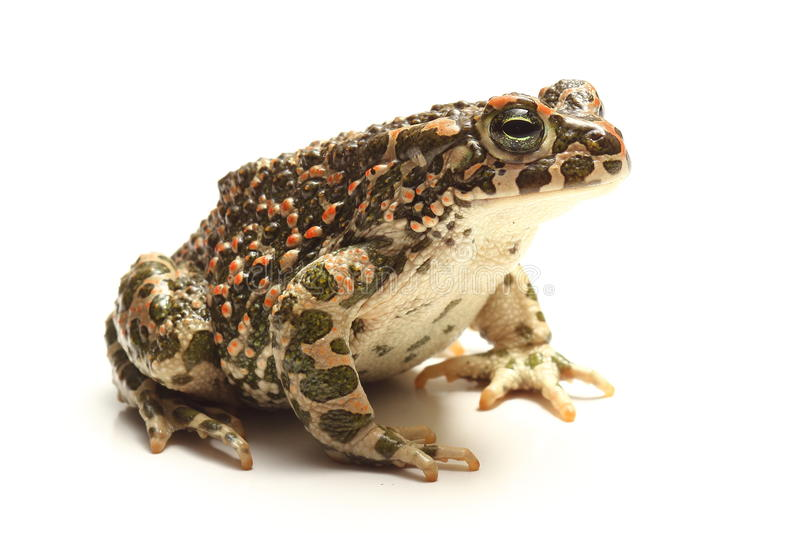 Green toad (Bufo viridis) over white royalty free stock images