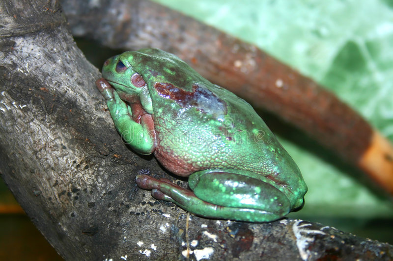 Green toad on a tree. Gigantic venomous green toad on a tree in aquarium royalty free stock photo