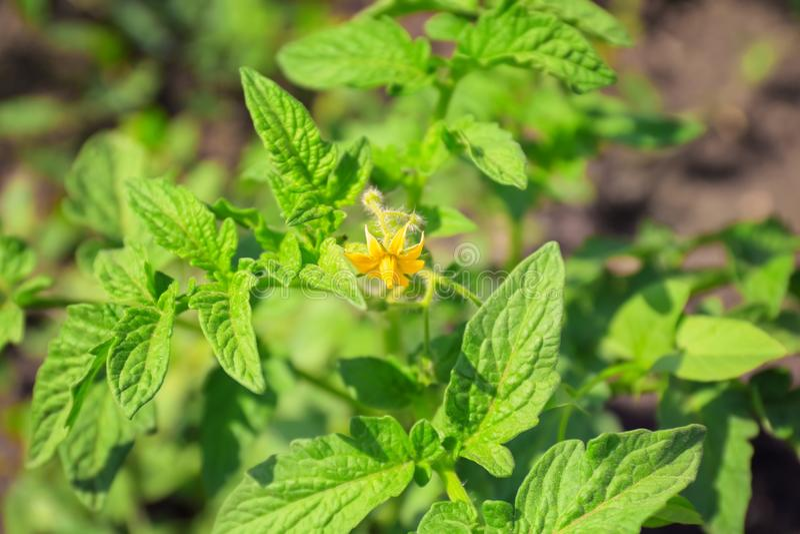 Green tomato bush. In garden stock image