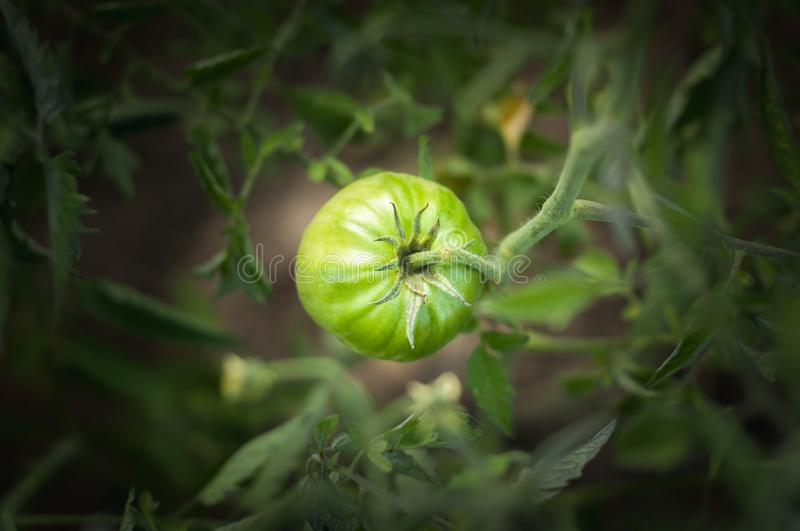 Green tomato grows on a bush. Home production. environmentally friendly product with vitamins.  stock images