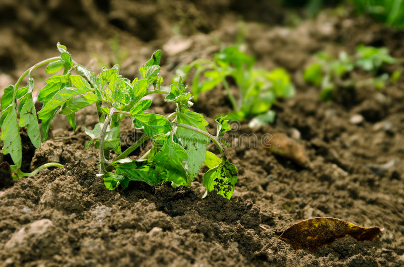Green tomato plant. Is in brown soil stock photos