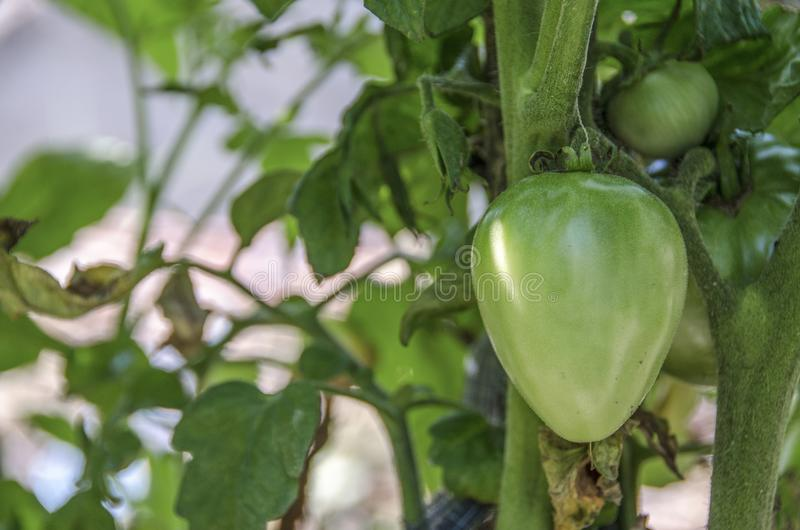 Green Tomato Plant - Green organic garden. Organic royalty free stock photo