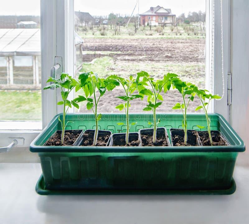 Green tomato seedlings on windowsill royalty free stock photos