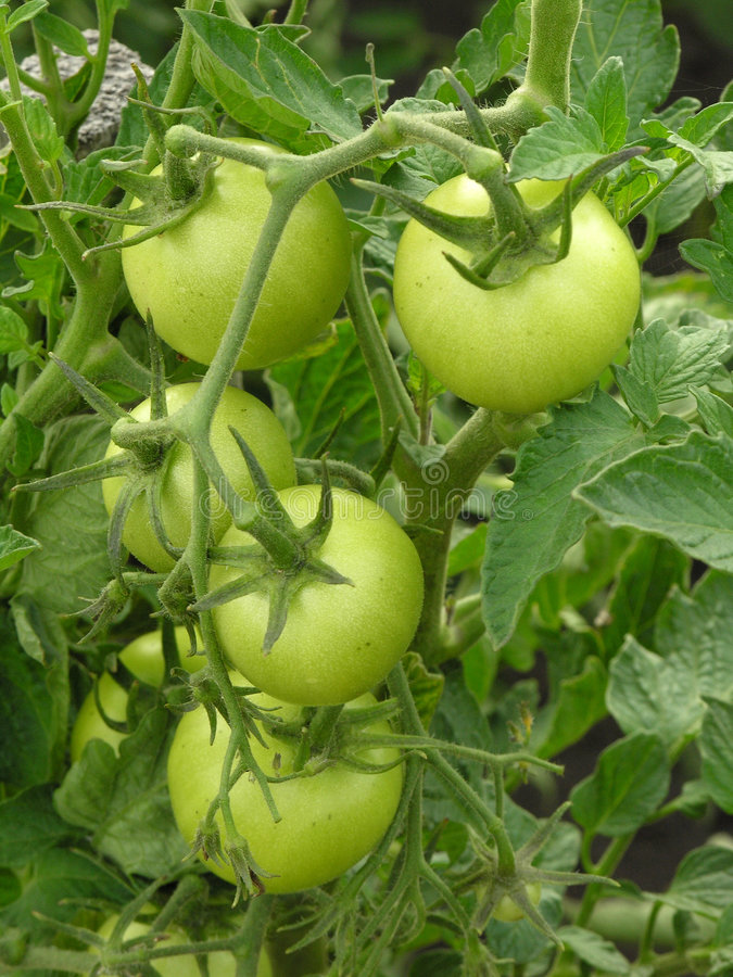 Download Green tomatoes stock image. Image of health, juicy, kitchen - 193231