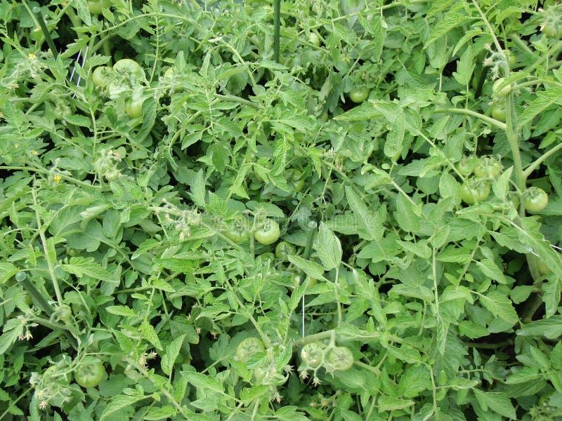 Green tomatoes stock photo