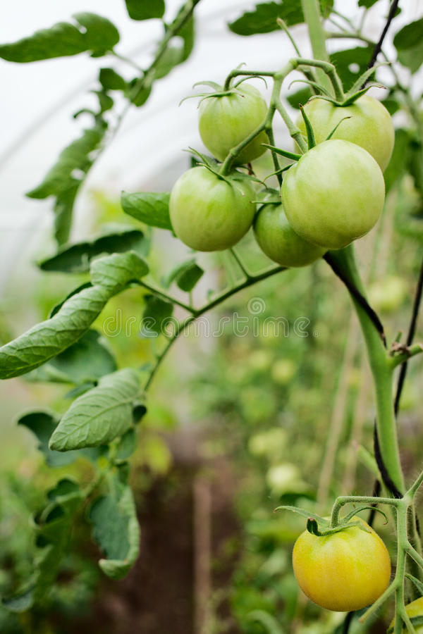 Green tomatoes on a branch stock photos