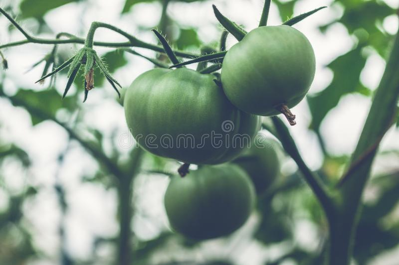 Green tomatoes on a branch in a greenhouse. Natural organic products concept. Soft focus. Horizontal shot royalty free stock photography