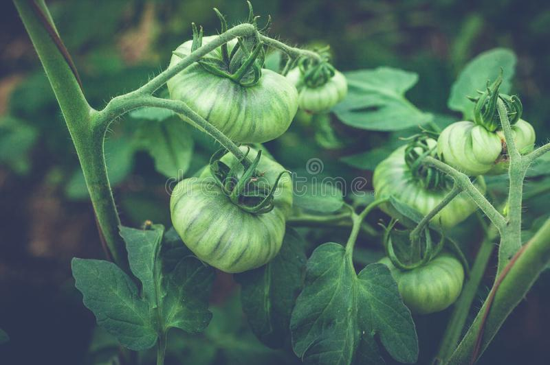 Green tomatoes on a branch in a greenhouse. Natural organic products concept. Soft focus. Horizontal shot stock photos