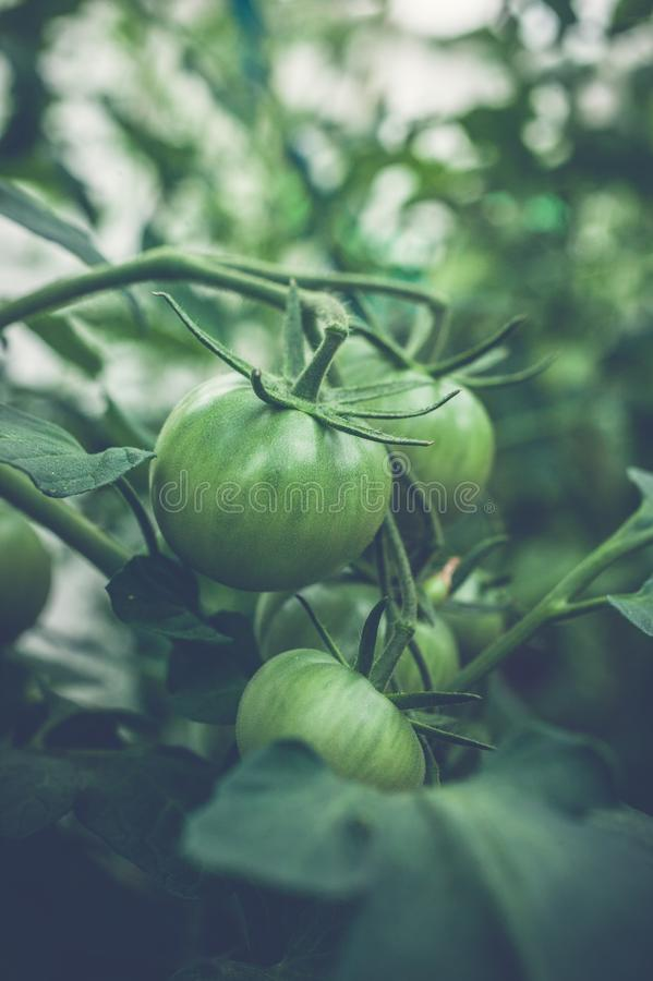 Green tomatoes on a branch in a greenhouse. Natural organic products concept. Soft focus. Vertical shot royalty free stock images