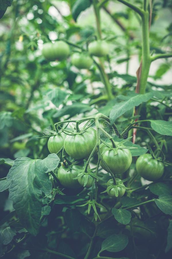 Green tomatoes on a branch in a greenhouse. Natural organic products concept. Soft focus. Vertical shot stock photo