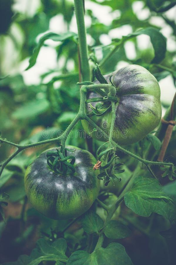 Green tomatoes on a branch in a greenhouse. Natural organic products concept. Soft focus. Vertical shot stock photography