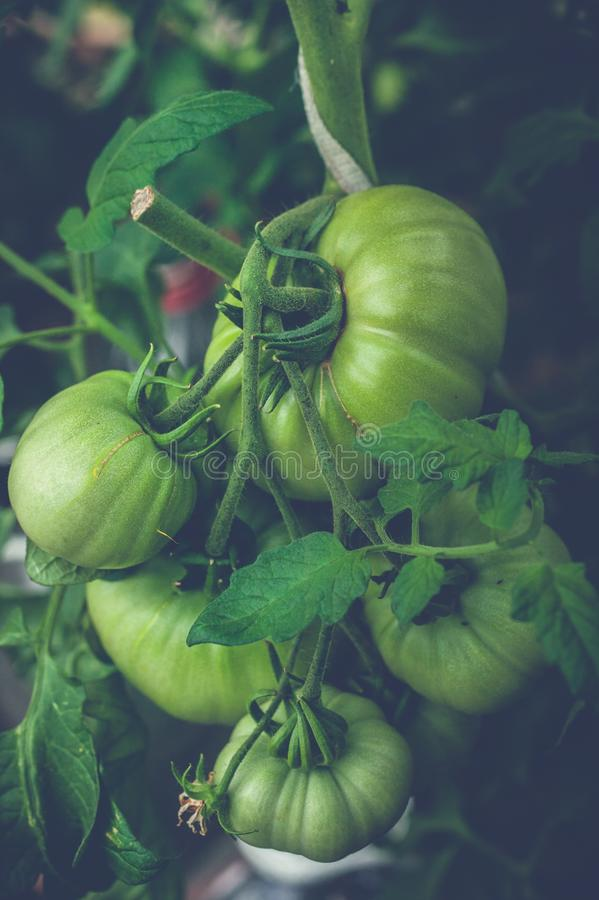 Green tomatoes on a branch in a greenhouse. Natural organic products concept. Soft focus. Vertical shot royalty free stock photography