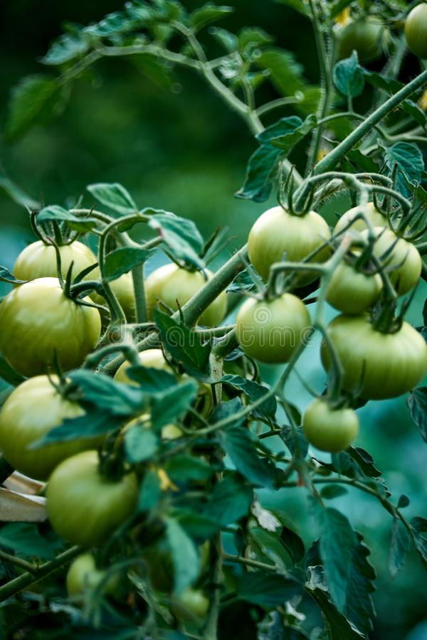Green tomatoes on a bush. Green unripe tomatoes in the garden. Tomatoes on the vine, growing on the branches. A bush of. Tomatoes with unripe vegetables stock photography