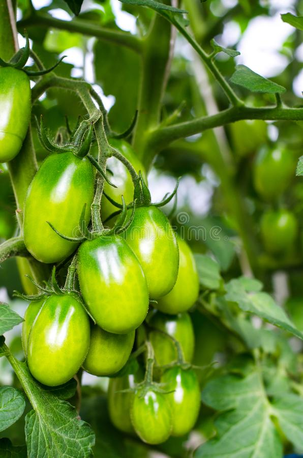 Green tomatoes on bush royalty free stock photography