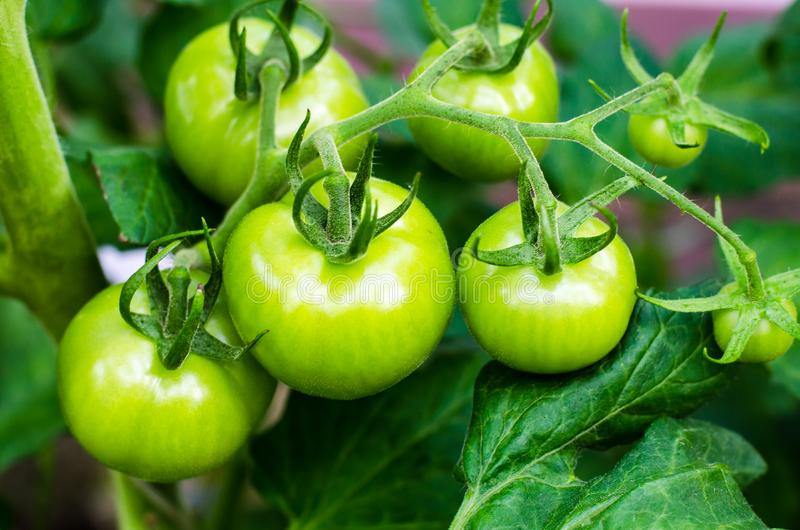 Green tomatoes on bush stock photo
