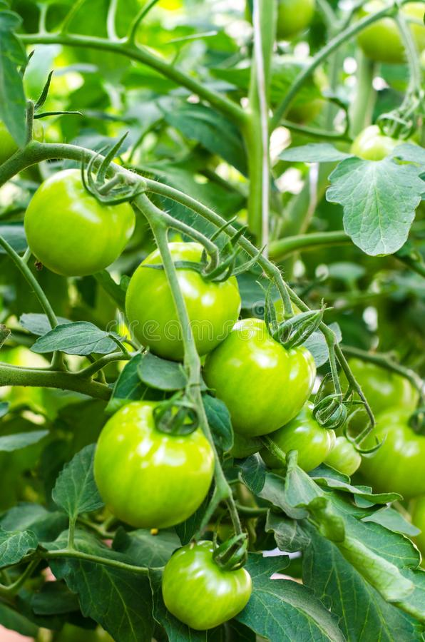 Green tomatoes on bush stock image