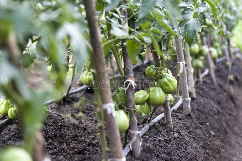 Download Green tomatoes stock photo. Image of details, growing - 32623886