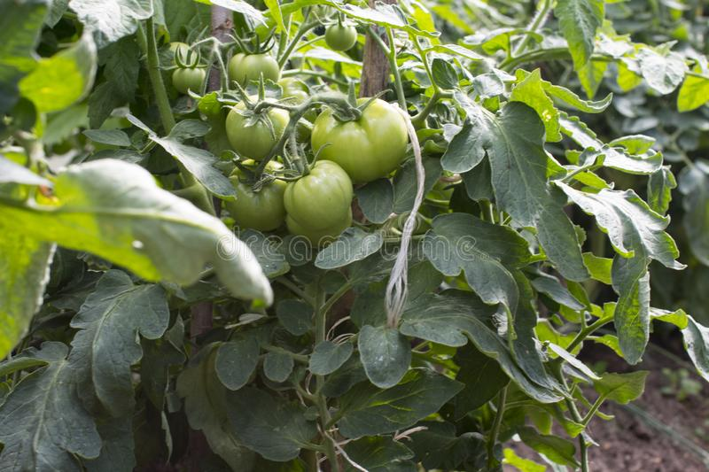 Green tomatoes hanging on a branch royalty free stock photo