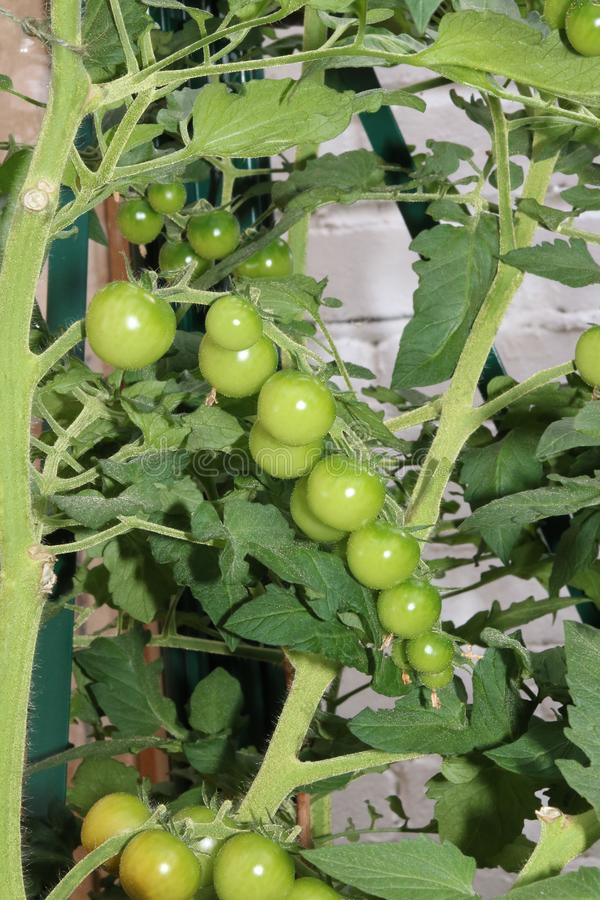 Green tomatoes on tomato plant. Close up of a truss of green tomatoes on a cherry tomato plant stock photo