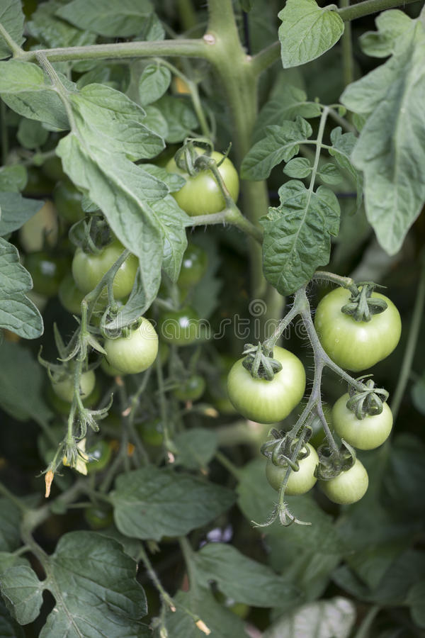 Download Green tomatoes on the vine stock image. Image of cocktail - 20572477
