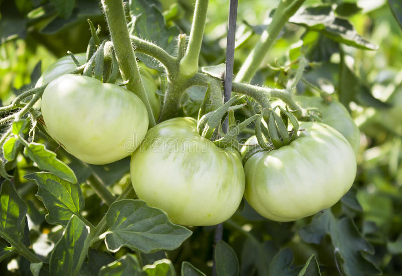 Green Tomatoes. Young Green Tomatoes on the Vine stock image