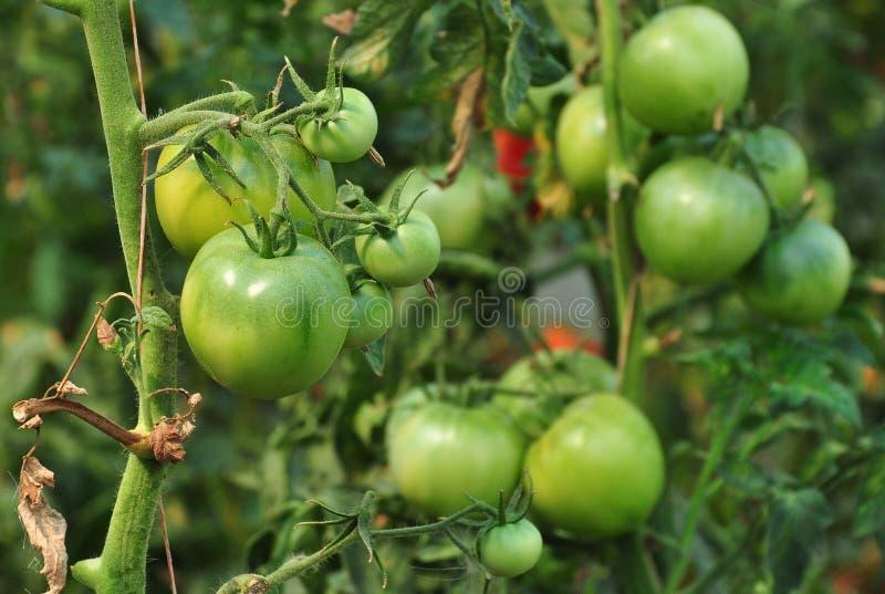 Green Tomatos Royalty Free Stock Photo
