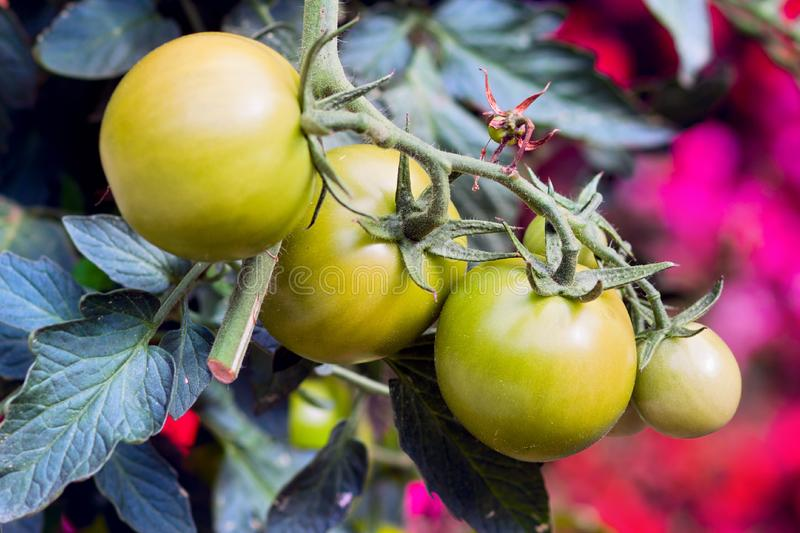Download A Green Tomatos In A Garden Stock Photo - Image of health, juicy: 16427324