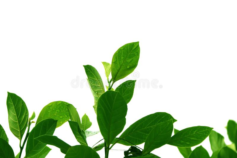 Green top Wood of jackfruit leaves, shape isolated on white background. royalty free stock photo