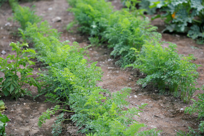 Green Tops Of Carrots Stock Photo