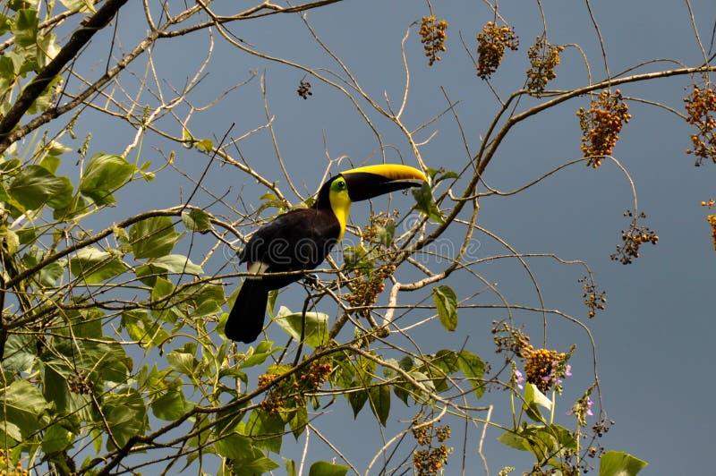 Green Toucan in Osa Peninsula, Costa Rica royalty free stock photography