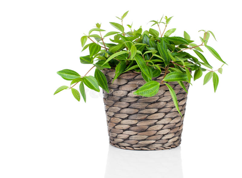 Green tradescantia plant in pot stock photo