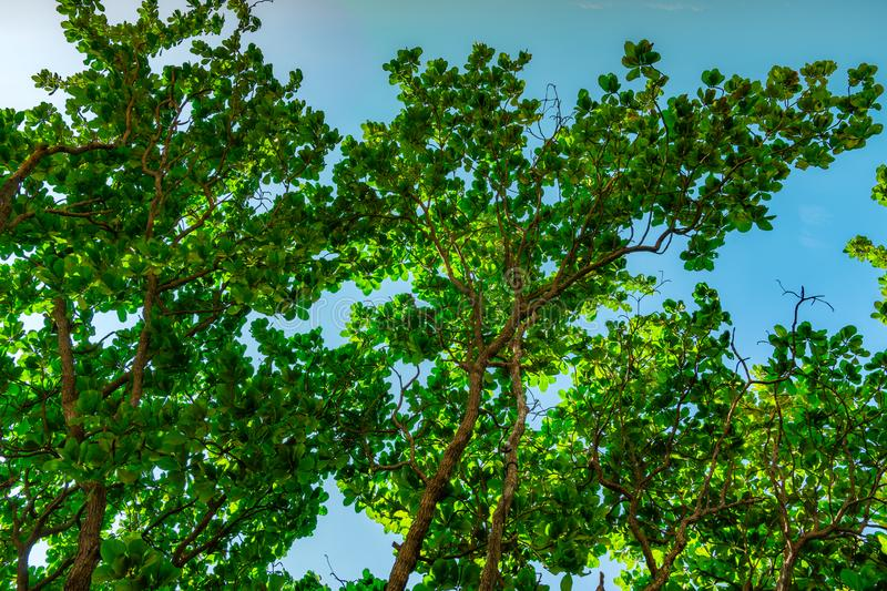 Green tree against clear blue sky background. Bottom view of green leaves and tree branch in sunny day.  Nature background royalty free stock images