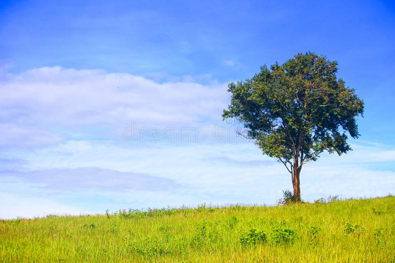 Green tree alone in green grass field with blue sky background stock image