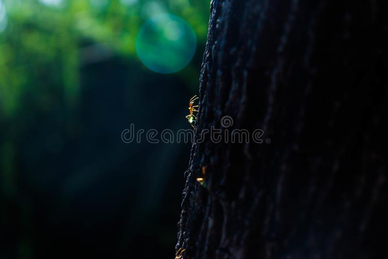 Green tree ants on a journey stock photos