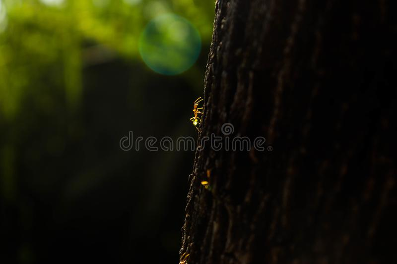Green tree ants on a journey stock images