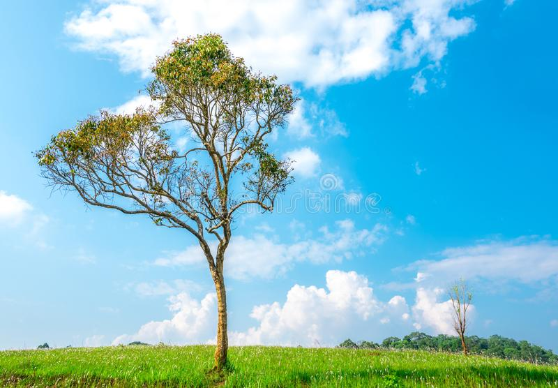 Green tree with beautiful branches pattern on hill and grass field and blue sky royalty free stock photo