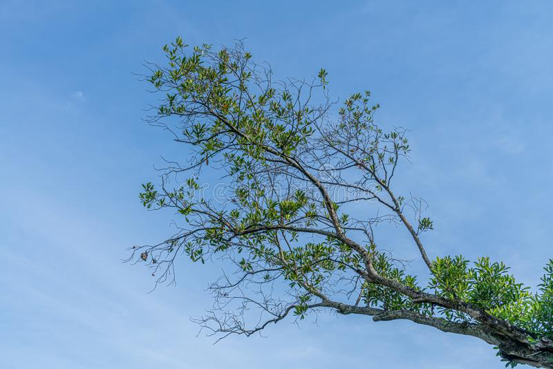 Green tree on blue sky royalty free stock photography