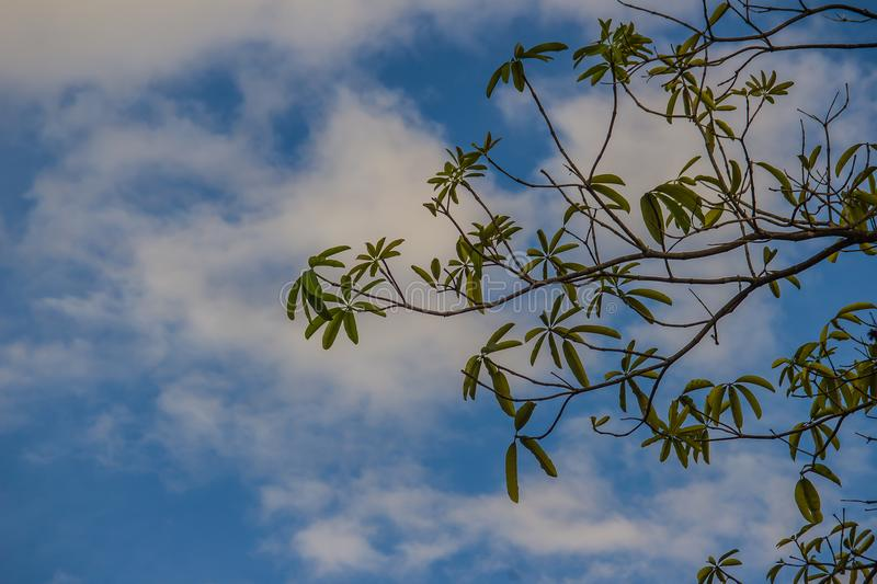 Green tree branches on blue sky and white cloud background. Silhouette green leaves on trees under cloudy bright blue sky. Cerbera odollam tree, known as the stock photography
