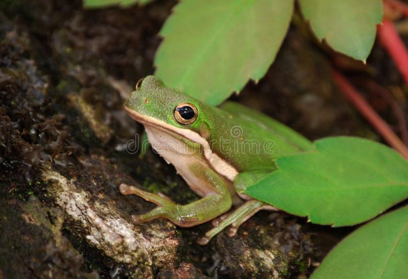 Download Green Tree Frog stock image. Image of pets, grass, tree - 10925173
