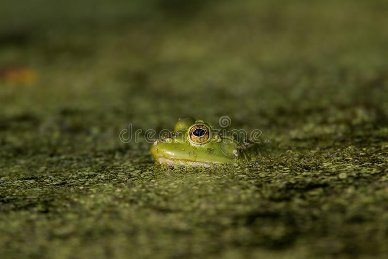Green Tree FRog. In green pond scum royalty free stock image