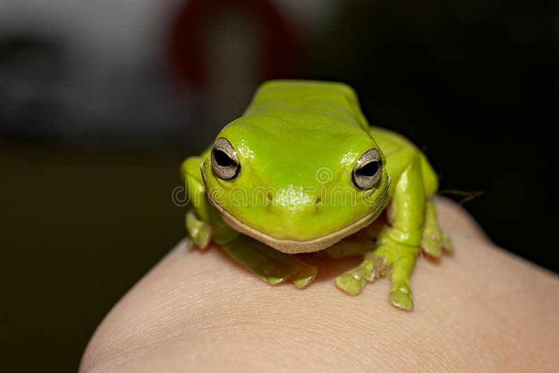 Download Green tree frog stock image. Image of frog, wales, blue - 2000509