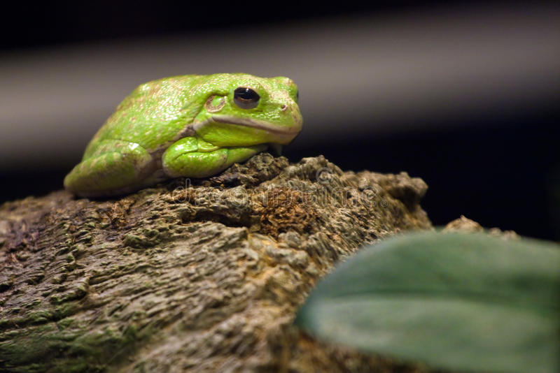 Green Tree Frog. A cute little slimy green tree frog sitting on a log. Shallow depth of field stock images