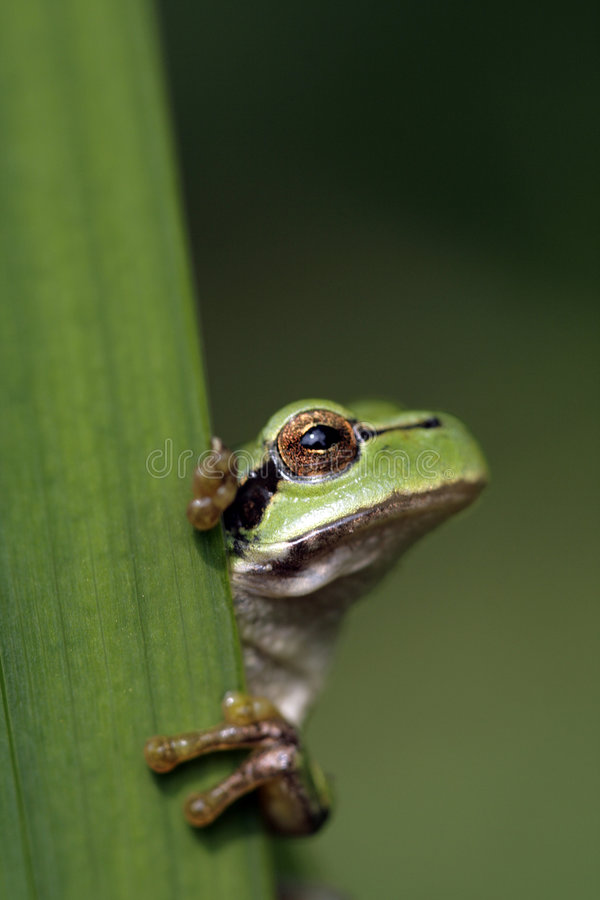 Green tree frog royalty free stock images