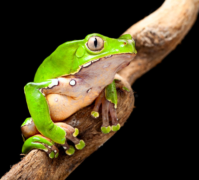 Green tree frog amazon rain forest stock photos