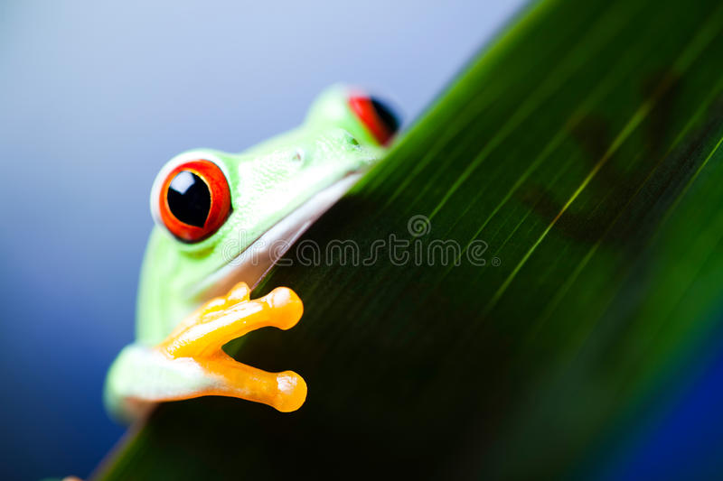 Green tree frog on colorful background.  royalty free stock images
