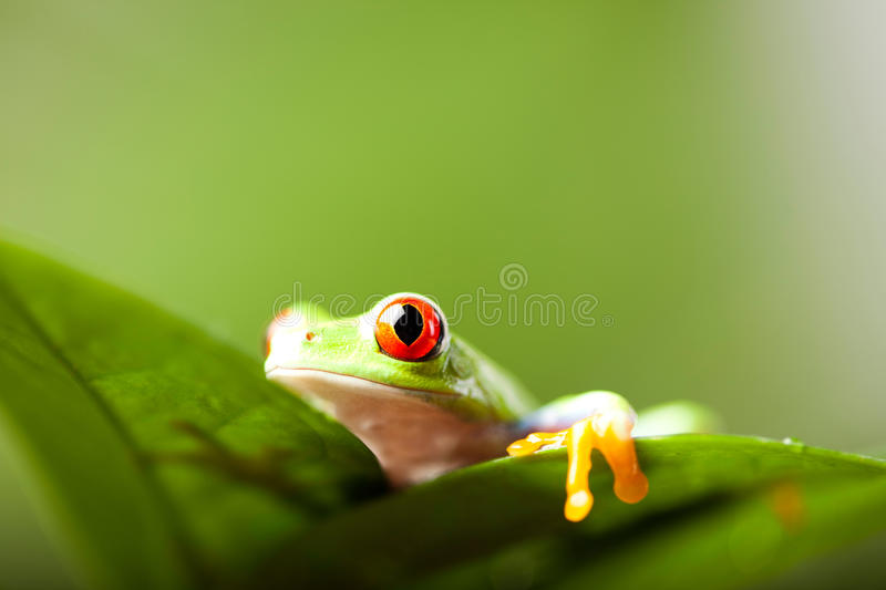 Green tree frog on colorful background.  stock photography