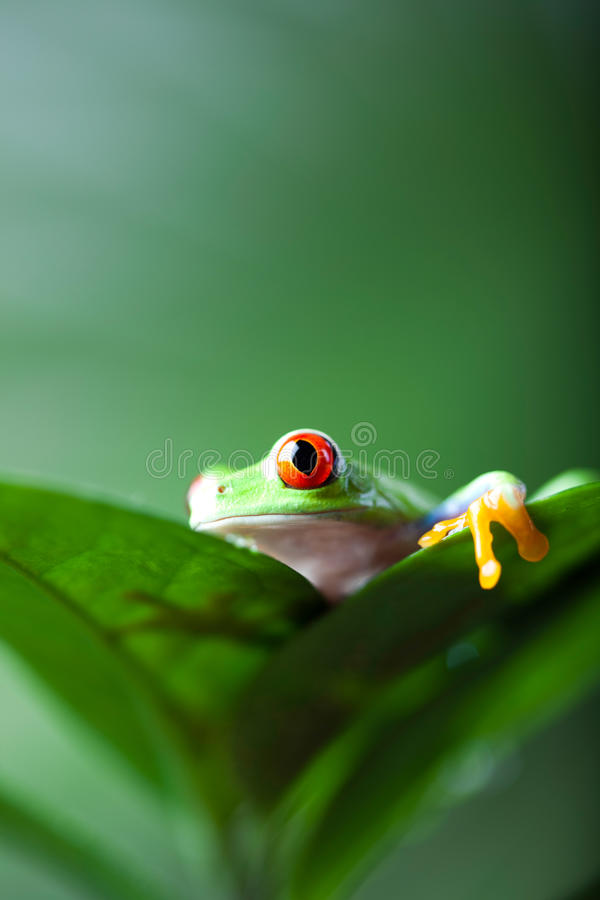 Green tree frog on colorful background.  stock images