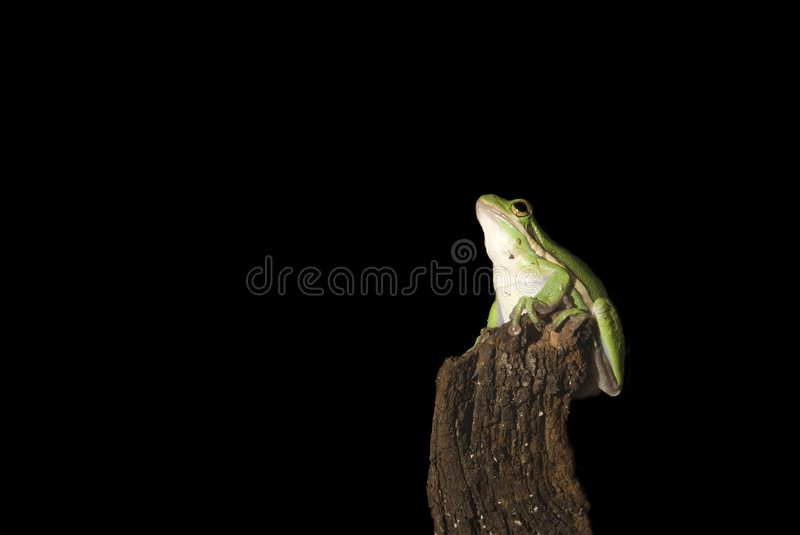 Green Tree Frog Dreaming royalty free stock photography