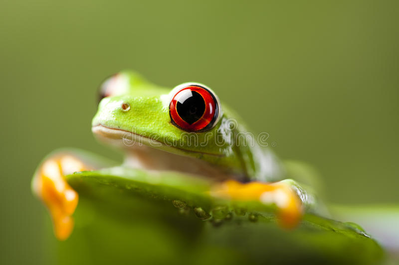 Green tree frog. Exotic frog on colorful background royalty free stock image