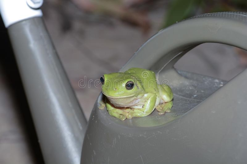 Green tree frog finds a cool moist seat royalty free stock photography